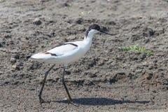 Pied Avocet Recurvirostra avosetta Black and White Wader Bird. Wildlife stock photo