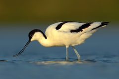 Pied Avocet, Recurvirostra avosetta, black and white wader bird in blue water, submerged head, France. Europe Royalty Free Stock Photos