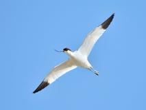 Pied avocet (Recurvirostra avosetta) Royalty Free Stock Photos