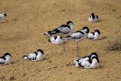 Pied Avocet, Recurvirostra avosetta, living in flocks Stock Images