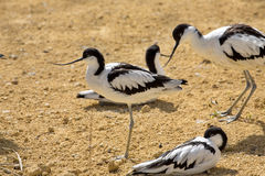Pied Avocet, Recurvirostra avosetta, living in flocks Stock Image