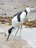 Pied Avocet (Recurvirostra avosetta) Royalty Free Stock Image