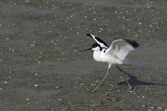 Pied avocet - Recurvirostra avosetta, in natural habitat Stock Image