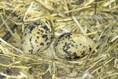 Pied Avocet (Recurvirostra avosetta) nest with eggs Royalty Free Stock Photography