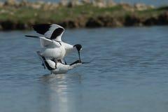 Pied avocet (Recurvirostra avosetta) Stock Photos
