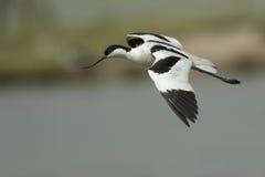 Pied avocet (Recurvirostra avosetta) Royalty Free Stock Images