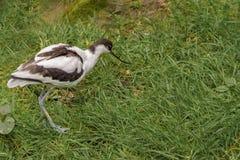 Pied avocet, Recurvirostra avosetta, wielki czarny i biały brodziec fotografia stock