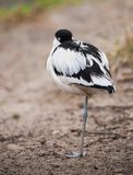Pied avocet: sleeping wader. On the river bank Royalty Free Stock Photos