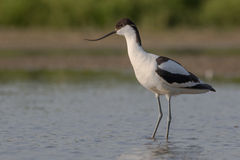 Pied avocet standing Stock Image
