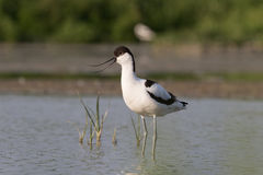 Pied avocet standing Royalty Free Stock Photos