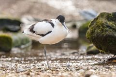 Pied avocet wader Stock Images