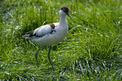 Pied Avocet walking Stock Photo