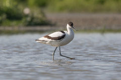 Pied avocet walking Royalty Free Stock Image