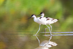 Pied Avocet walking in water. With green background royalty free stock images