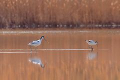 Pied Avocet in water looking for food Recurvirostra avosetta Black and white wader bird. Wildlife stock image