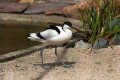 Pied Avocet Waterbird arkivfoto