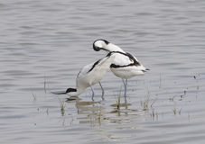 Pied avocets Stock Photos