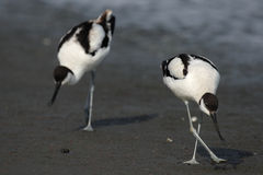 Pied Avocets. Two Pied Avocets (Recurvirostra avosetta) searching for food on the beach in Namibia stock image