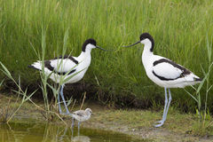 Pied Avocets with baby chick Royalty Free Stock Photo