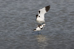 Pied avocets mating Royalty Free Stock Photos