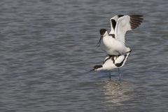 Pied avocets mating Stock Photos