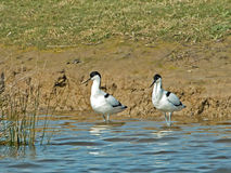 Pied Avocets Stock Photo