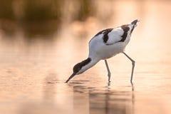 pied avocetvadande och söka efter föda i grunt vatten royaltyfri bild