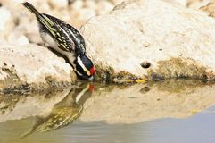 Pied Barbet - Wild Bird Background from Africa - Water Mirror Stock Photography