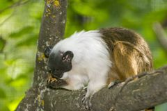Pied bare-faced tamarin royalty free stock images