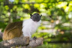 Pied bare-faced tamarin stock photo
