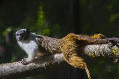 Pied bare-faced tamarin stock image