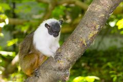 Pied bare-faced tamarin. Brazilian bare-faced or pied tamarin Saguinus bicolor on a tree royalty free stock photos