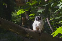 Pied bare-faced tamarin stock photography