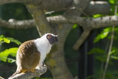 Pied bare-faced tamarin stock images