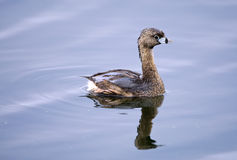 Pied-billed Grebe. A Pied-billed Grebe (Podilymbus podiceps) swims in 40-Acre Lake at Brazos Bend State Park, Needville, Texas.  Needville is located just Stock Image
