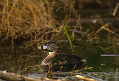 Pied-billed Grebe Royalty Free Stock Image