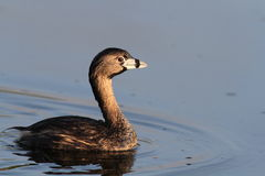 Pied-billed Grebe Stock Photography