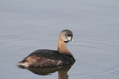 Pied-billed grebe Royalty Free Stock Images