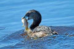 Pied-Billed Grebe Royalty Free Stock Photos