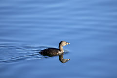 Pied-billed Grebe bird. Cute little Pied-billed Grebe duck swimming and leaving a wake behind Stock Photos