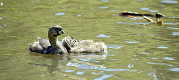 Pied-billed grebe with cub on the lake Royalty Free Stock Image