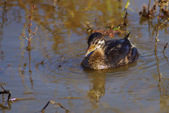 Pied billed Grebe. Stock Image