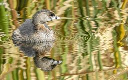 Pied billed Grebe in Lake in Tucson Arizona. With reflection in lake Stock Photography