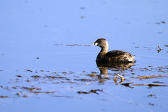 Pied-billed Grebe, Podilymbus podiceps Royalty Free Stock Photos