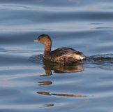 Pied Billed Grebe Stock Images