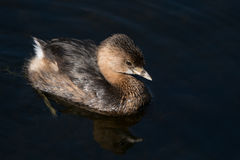 Pied-billed Grebe (Podilymbus podiceps). Grebe swimming in water.  Boynton Beach, Florida, United States Royalty Free Stock Photo