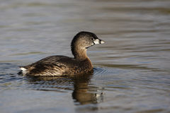 Pied-billed grebe, Podilymbus podiceps Stock Images