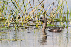 Pied Billed Grebe in Reeds Stock Photography