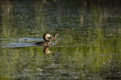 Pied-billed grebe in spring plumage floating in profile in lake with chick against reflection of green vegetation stock image