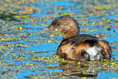 Pied-Billed Grebe Stock Photo